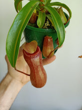Load image into Gallery viewer, Nepenthes ventricosa