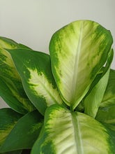 Load image into Gallery viewer, Dieffenbachia 'Mariana'