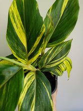 Load image into Gallery viewer, Alpinia zerumbet - Shell Ginger
