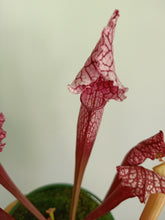 Load image into Gallery viewer, Sarracenia sp.