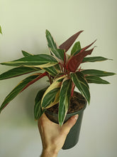 Load image into Gallery viewer, Stromanthe sanguinea Tricolor
