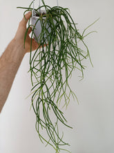 Load image into Gallery viewer, Rhipsalis cassutha