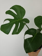 Load image into Gallery viewer, Monstera deliciosa - Fruit Salad Plant 170mm