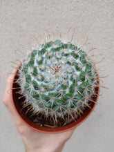 Load image into Gallery viewer, Mammillaria sp.