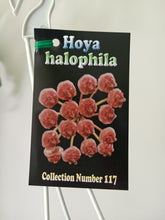 Load image into Gallery viewer, Hoya halophila