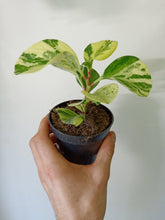 Load image into Gallery viewer, Peperomia obtusifolia variegata