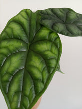 Load image into Gallery viewer, Alocasia baginda 'Dragon Scale'