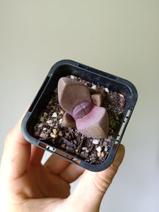 Pleiospilos nelii 'Royal Flush'