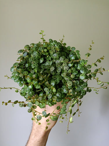 Peperomia rotundifolia prostrata - String of Turtles - PICK UP ONLY