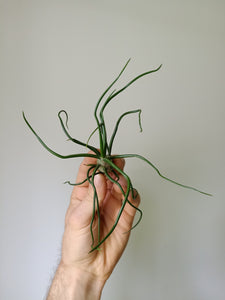 Tillandsia bulbosa large