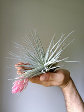Load image into Gallery viewer, Tillandsia Houston Cotton Candy