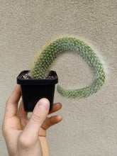 Load image into Gallery viewer, Cleistocactus winteri subsp. colademononis - Monkey Tail Cactus