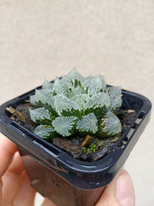 Haworthia mirror ball