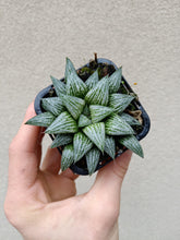 Load image into Gallery viewer, Haworthia 'Silver Kiwi'