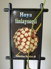 Load image into Gallery viewer, Hoya finlaysonii