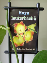 Load image into Gallery viewer, Hoya lauterbachii