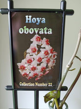 Load image into Gallery viewer, Hoya obovata