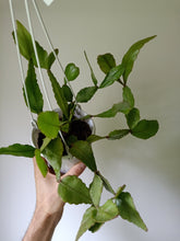 Load image into Gallery viewer, Rhipsalis elliptica