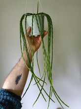 Load image into Gallery viewer, Rhipsalis pacheo-leerii v catenula
