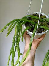 Load image into Gallery viewer, Rhipsalis paradoxa