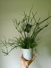 Load image into Gallery viewer, Rhipsalis teres f. Prismatica