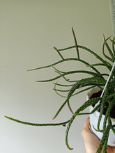 Load image into Gallery viewer, Rhipsalis horrida