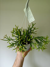 Load image into Gallery viewer, Rhipsalis sulcata