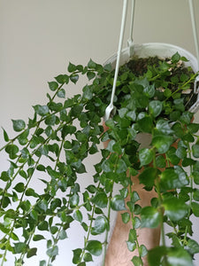 Dischidia ruscifolia - Million Hearts Vine