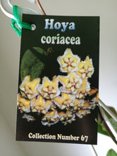 Load image into Gallery viewer, Hoya coriacea