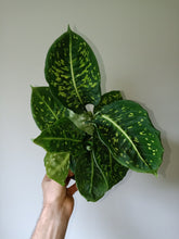 Load image into Gallery viewer, Dieffenbachia 'Reflector'