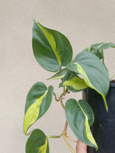 Load image into Gallery viewer, Philodendron hederaceum 'Brasil'