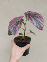 Load image into Gallery viewer, Begonia brevirimosa 'Exotica'
