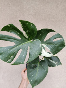 Monstera deliciosa 'Thai Constellation' plant C