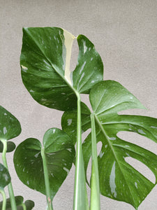 Monstera deliciosa 'Thai Constellation' plant D