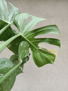 Monstera deliciosa 'Thai Constellation' plant E
