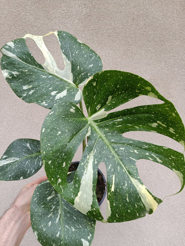 Monstera deliciosa 'Thai Constellation' plant F
