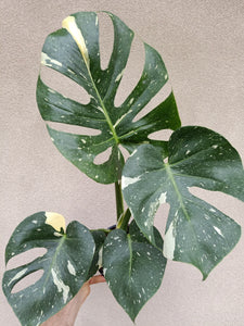 Monstera deliciosa 'Thai Constellation' plant G