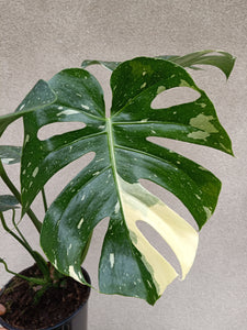Monstera deliciosa 'Thai constellation' plant H