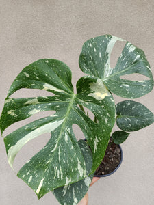 Monstera deliciosa 'Thai Constellation' plant K