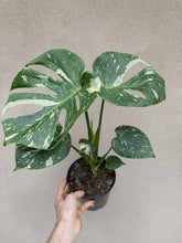 Load image into Gallery viewer, Monstera deliciosa 'Thai Constellation' plant K