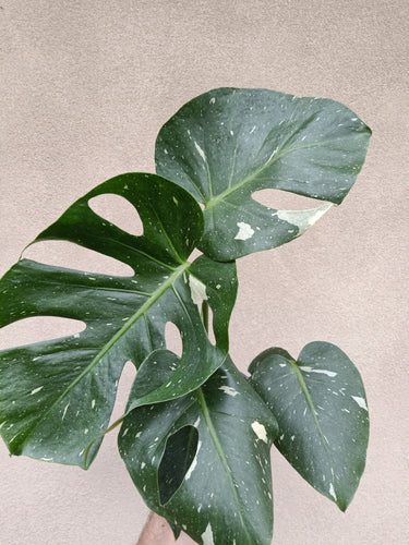 Monstera deliciosa 'Thai Constellation' plant J