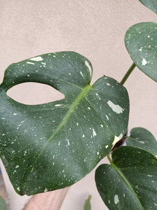 Monstera deliciosa 'Thai Constellation' plant L