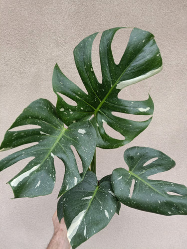 Monstera deliciosa 'Thai Constellation' plant N