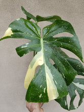 Load image into Gallery viewer, Monstera deliciosa 'Thai Constellation' plant O - minor leaf damage