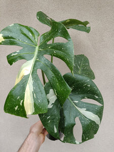 Monstera deliciosa 'Thai Constellation' plant O - minor leaf damage