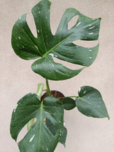 Load image into Gallery viewer, Monstera deliciosa 'Thai Constellation' plant M