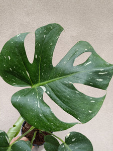 Monstera deliciosa 'Thai Constellation' plant M