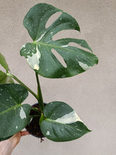 Load image into Gallery viewer, Monstera deliciosa 'Thai Constellation' plant P