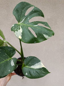 Monstera deliciosa 'Thai Constellation' plant P
