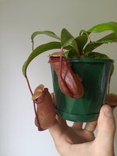 Load image into Gallery viewer, Nepenthes ventricosa cv.